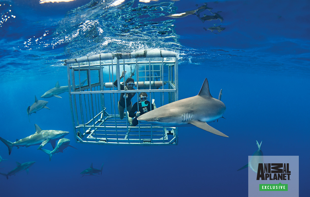 Image of scuba divers in a metal cage with sharks swimming around | Click here to watch video